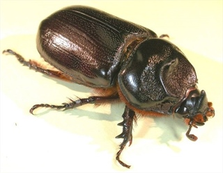 Coconut Rhinoceros Beetle