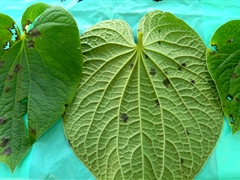 Kava leaves with disease symptoms - Risk to potential export crop