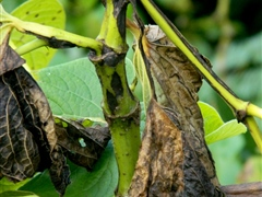 Kava stem with dieback symptoms - Risk to potential export crop