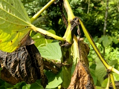 Kava leaves with dieback symptoms - Risk to potential export crop
