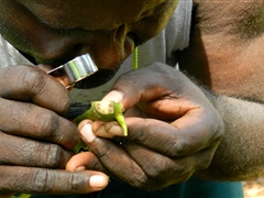 Potential export crop - Inspecting Kava for disease