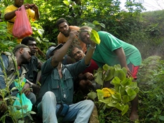 Demonstrating Kava disease symptoms to the farmer