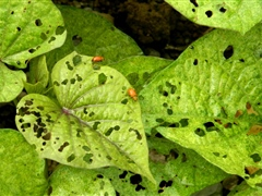 Leaf damage by leaf feeding beetle