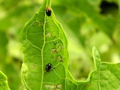 Slippery Cabbage Flea beetle is a serious new pest