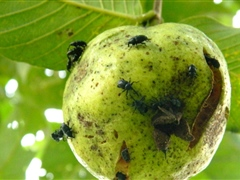 Guava suffering from weevil attack
