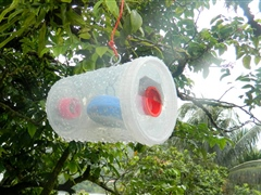 Fruit fly traps being used during a pest survey